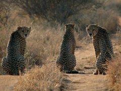 6.cheetah.jpg