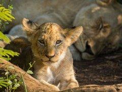 baby-lion.jpg